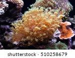 Small photo of Tropical aquarium with marine invertebrates. Actiniaria. Heteractis malu Radianthus malu. soft focus