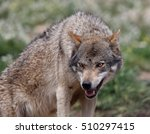 Small photo of A captive Eurasian Wolf (Canis lupus) showing aggression, Spain.