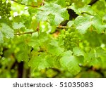 Ripening white grapes at vineyard in New Zealand - stock photo