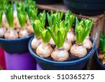 Tulip Bulbs In Pot In Amsterda...