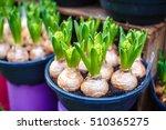 Tulip Bulbs In Pot In Amsterda...