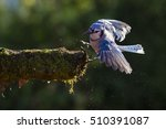 American blue jay (Cyanocitta cristata) in autumn