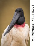 Small photo of Close-up of jabiru with head turned left