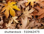 Small photo of Yellow bigleaf maple (Acer macrophyllum) leaf on a pile of dead leaves scattered on the ground