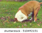 dog digging a hole. stafford... | Shutterstock . vector #510492151