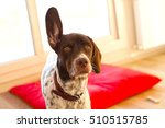 english pointer dog | Shutterstock . vector #510515785