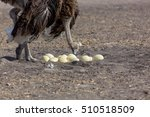The Ostrich Or Common Ostrich...