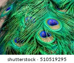 commonly called the peacock.... | Shutterstock . vector #510519295