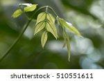 Small photo of Albizzia lucida's green new leaves (Albizzia lucida)