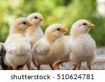 baby chicken in poultry farm. | Shutterstock . vector #510624781