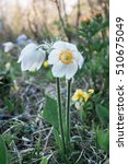 Small photo of Flowers snowdrops in the mountains, Altai Mountains, Siberia, Russia