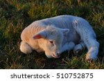 Small photo of little lamb repose in the meadow
