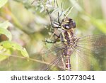 Small photo of blue-eyed darner (Aeshna multicolor, syn. Rhionaeschna multicolor)
