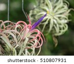 Small photo of Tillandsia with violet flower. (air plant)