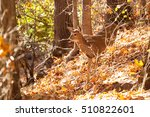 A Young Whitetailed Deer Doe...