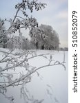 Small photo of Branches of European black alder tree covered with white hoarfrost