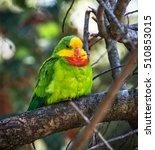 Portrait Of Superb Parrot  ...