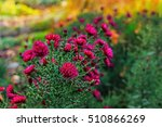 The Aster  Aster Dumosus  In A...