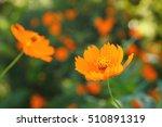 Orange Flower Of Cosmos...
