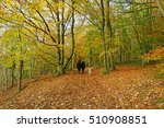 Stock photo a couple walking with their dog along a path in woodland with beech trees fagus sylvatica showing 510908851