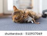 Stock photo beautiful bengal cat playing in the house with fluffy mouse eating it 510937069