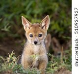 Stock photo adorable newborn black backed jackal pup venturing out of its den 510937927