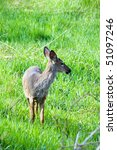 green grass land young deer... | Shutterstock . vector #51097246