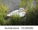 A White Mallard Duck Swimming...