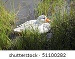 A White Mallard Duck Swimming...