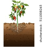 vector illustration of cayenne...   Shutterstock .eps vector #511008265