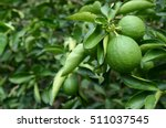 Green Lemon Or Lime Tree.
