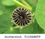 Small photo of Close up of Country mallow seed in the garden. (Herb - Abutilon indicum)