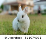 Stock photo netherland dwarf rabbit call nd in short word color is white with blue eye age baby days 511074031