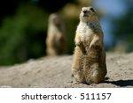 Prairie Dog Upright - stock photo