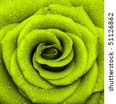 One Beautiful Rose  Close Up ...