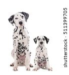 two cute dalmatian dogs one...   Shutterstock . vector #511399705