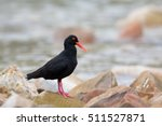 Small photo of An African Black Oystercatcher also known as African Oystercatcher (Haematopus moquini) standing on rocks, against a blurred shoreline background, Western Cape, South Africa