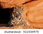 bobcat  lynx rufus  lying on... | Shutterstock . vector #511534975