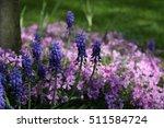 blue traubenhyazinthen  muscari  | Shutterstock . vector #511584724