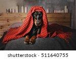 Beautiful Doberman Dog Lying O...