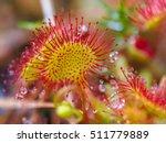 Sundew  Drosera Rotundifolia ...