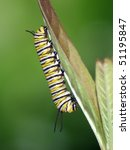 Young Monarch Caterpillar On...