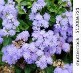 Small photo of Blue Floss Flowers or Bluemink, Blueweed, Pussy Foot, Mexican Paintbrush in Kiev. Ukraine. Its scientific name is Ageratum Houstonianum, native to central America