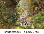 Sri Lankan Leopard  Panthera...