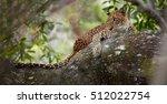 sri lankan leopard  panthera... | Shutterstock . vector #512022754