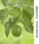 green lemon hanging on a branch - stock photo