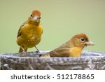 Pair Of Summer Tanagers In...