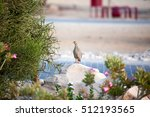 Small photo of A watchful sandgrouse on Sir Bani Yas island, UAE