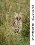 Serval  Felis Serval  Hunting...