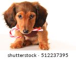 Stock photo longhair dachshund puppy with christmas candy cane isolated on white 512237395
